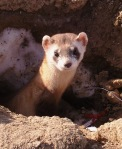 black-footed_ferret_-usfws-wikicommons