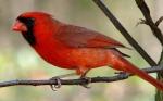 cardinal-635872_960_720