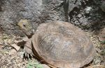 desert-box-turtle-sue-in-az